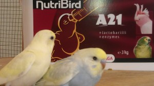 Trained Budgies For Sale   Probably the friendliest budgies in the